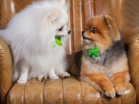 Two funny dogs, white spitz and red spitz