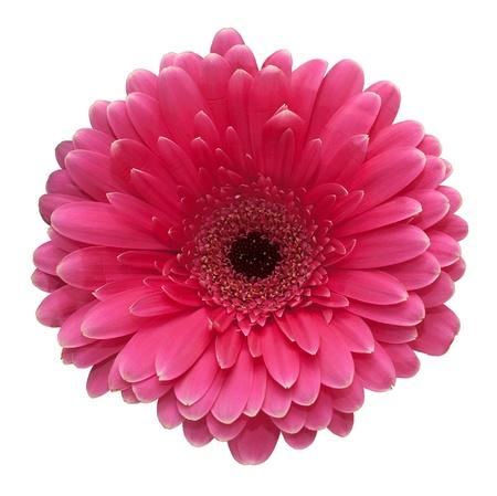 Rosa Blume Standard-Bild - 8708361