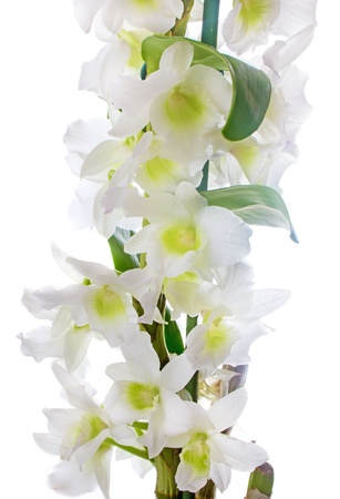 White orchid  Dendrobium nobile photo