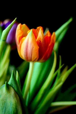 Colorful bouquet of tulips on the black background Stock Photo - 18136193