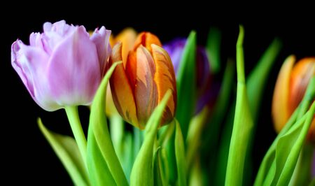 Colorful bouquet of tulips on the black background photo