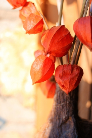 Fresh physalis growing on sunlight in window Stock Photo