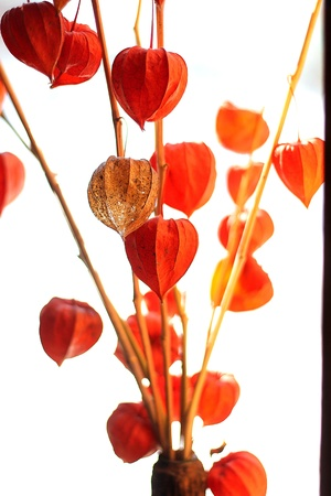 Fresh physalis growing on sunlight in window photo