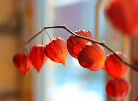 physalis: Fresh physalis growing on sunlight in window Stock Photo