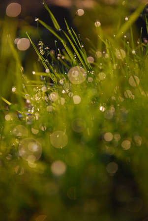 Dew and grass photo