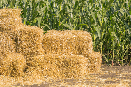Straw square bale against a green field of corn, bales of hay on a country road, straw bale on field against the forest green on sunshine