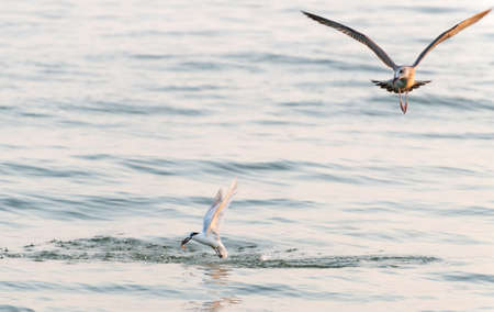 hooked: The seagull flies and looks at the bird who hooked fish Stock Photo