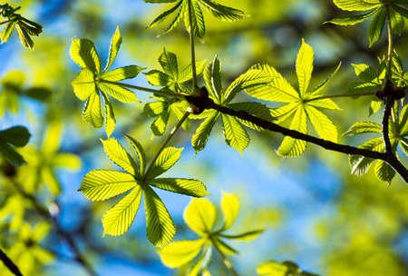 Frame of translucent horse chestnut textured green leaves