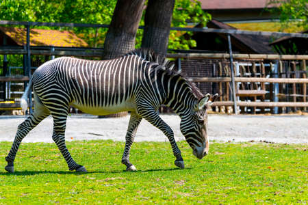 Close up portrait of a single zebra in moskow zoo Stock Photo