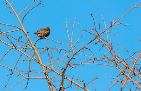 A common starling is sitting on a tree against a blue sky Фото со стока
