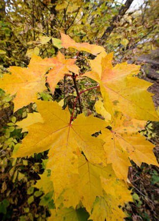The turning yellow leaf of a maple in the fall outdoors Stok Fotoğraf