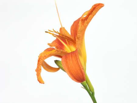 oranje lelie: Orange Lily Stockfoto