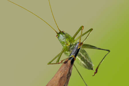 Grasshopper on a pencil