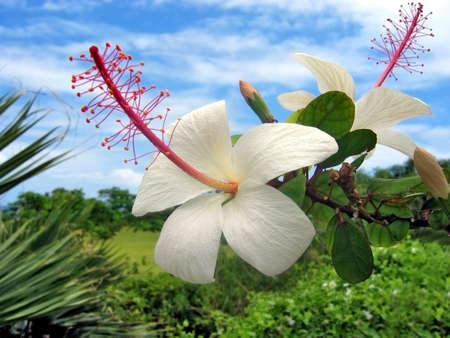 Hawaiian flowers Banco de Imagens