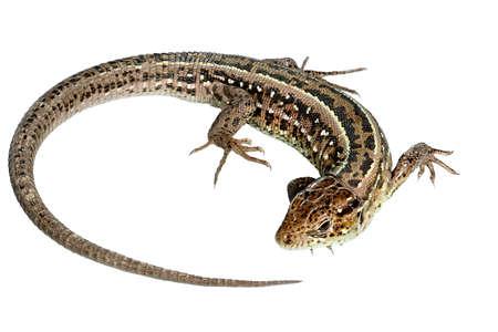 Involute Lizard Banco de Imagens
