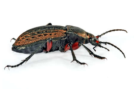 feeler: Bronze beetle Stock Photo