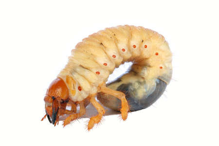 Cockchafer Larva