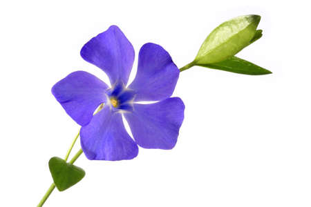 Periwinkle flower against white background
