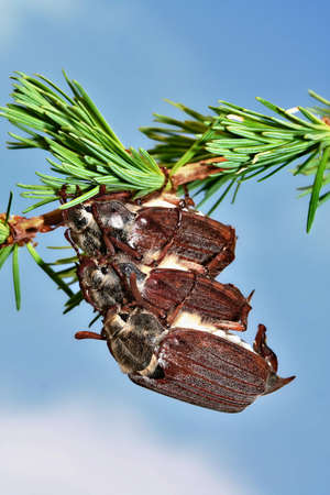 Cockchafers on a larch branch