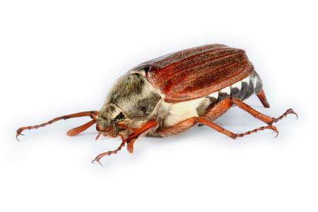 chitin: May-bug Stock Photo