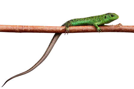 Green lizard on a branch Banco de Imagens