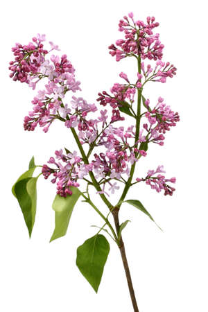 Lilac branch against white background