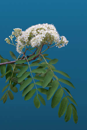 Mountain ash flowers against blue background