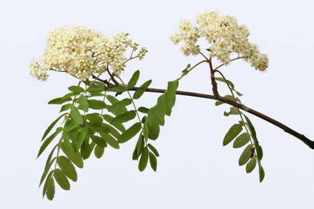 Mountain ash flowers Stock Photo