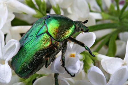 Green beetle on a white lilac