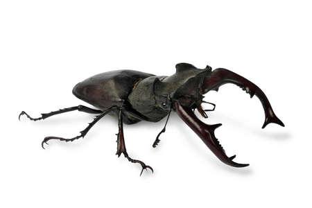 feeler: Stag-beetle