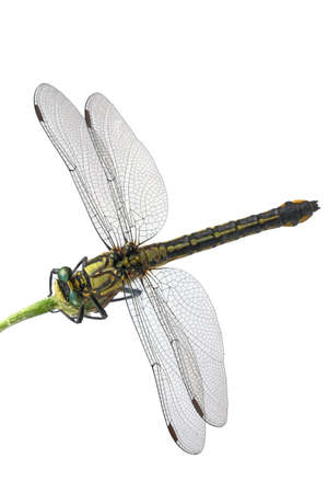 antenna dragonfly: Green-eyed dragonfly