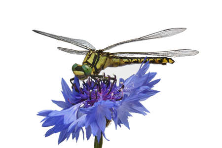 antenna dragonfly: Green-eyed dragonfly on the cornflower Stock Photo