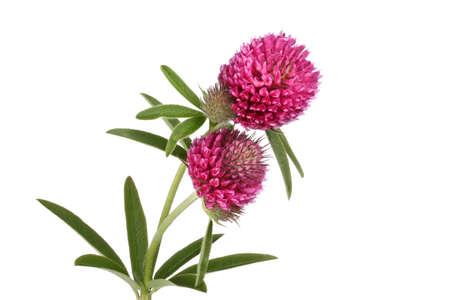 Clover flowers