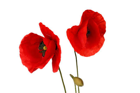 Poppy flowers against white background
