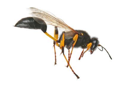 feeler: Black wasp