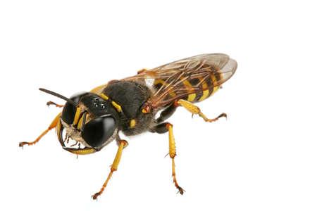 Wasp against white background photo