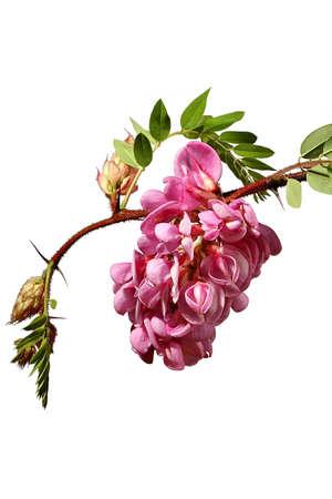 Pink Acacia Banco de Imagens
