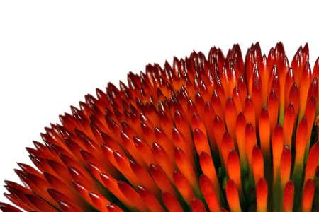 Echinacea (close-up) Stock Photo - 478784