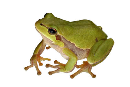 Tree-frog Banco de Imagens
