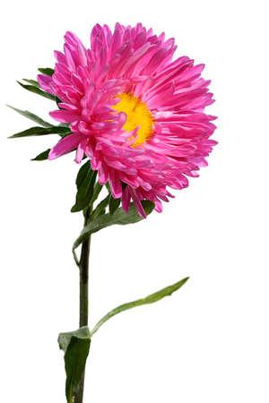 Chrysantemum Banco de Imagens