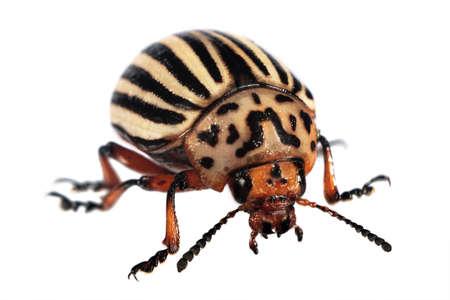 chitin: Colorado Beetle