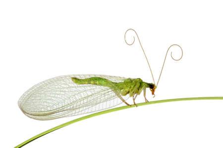 Green midge on a grass Banco de Imagens