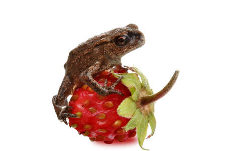strawberry frog: Young frog on a strawberry Stock Photo