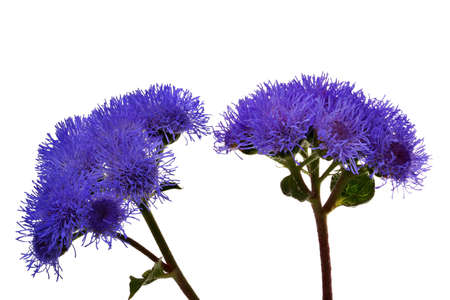 Blue flowers Reklamní fotografie - 507184
