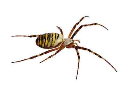 chitin: Yellow Spider