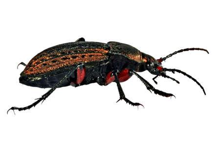 Bronze beetle Stock Photo