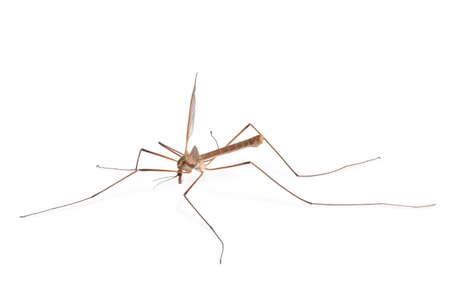 Mosquito Banco de Imagens - 516936