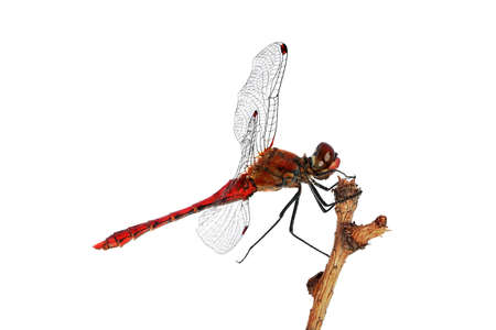 chitin: Red dragonfly on a branch