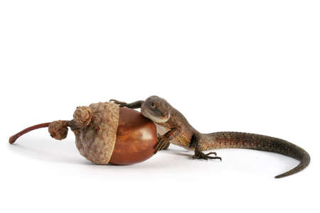 Lizard and acorn