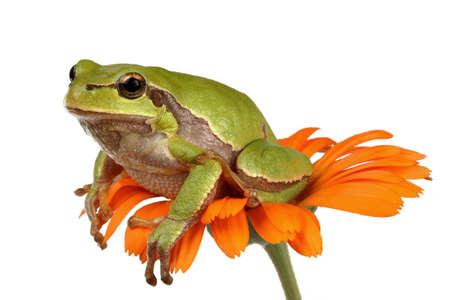 Tree-frog on a flower Banco de Imagens